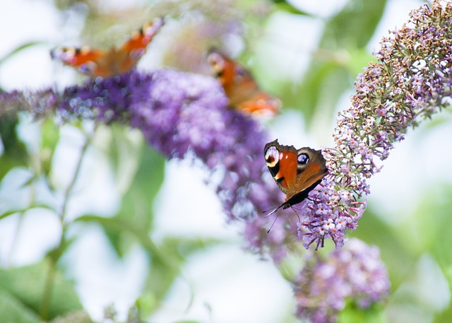 HOW TO PLANT, GROW AND CARE FOR A BUDDLEIA BUTTERFLY BUSH