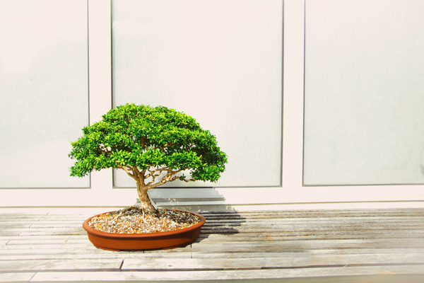 Bonsai Tree Care A Guide To Looking After Your Bonsai Gardeners Dream Blog