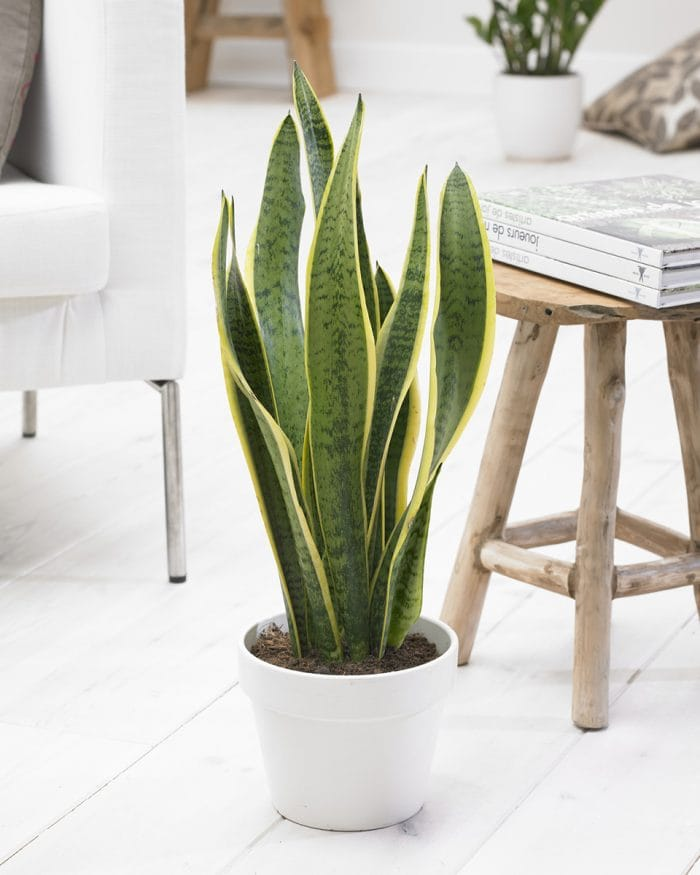 Sansevieria Laurentii 'Mother-in-laws tongue'