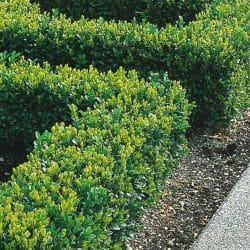 Buxus Sempervirens Box Hedging