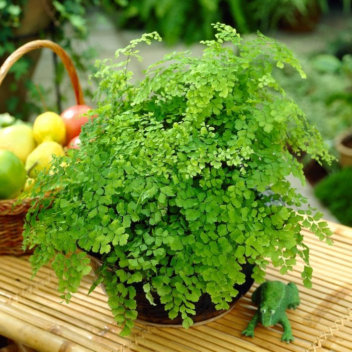 Ferns - Gardeners Dream
