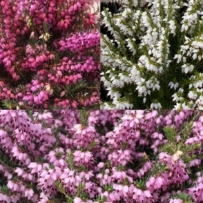24 x Erica Darlyensis Mixed Heathers Evergreen Shrub