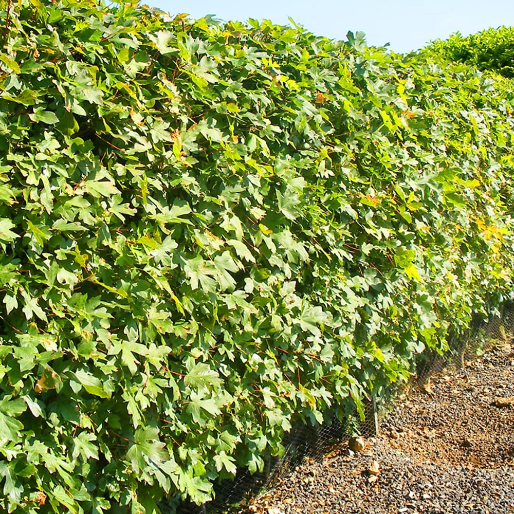Acer Campestre 60 90cm 2 3 Ft Bare Root Maple Hedge Hedging Field