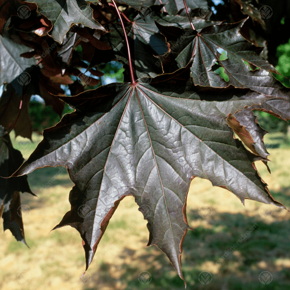 Acer Platanoides Crimson King Purple Norway Maple Tree