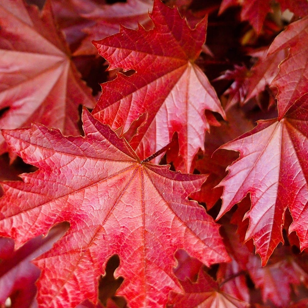 Acer Platanoides Crimson Sentry Purple Norway Maple Tree