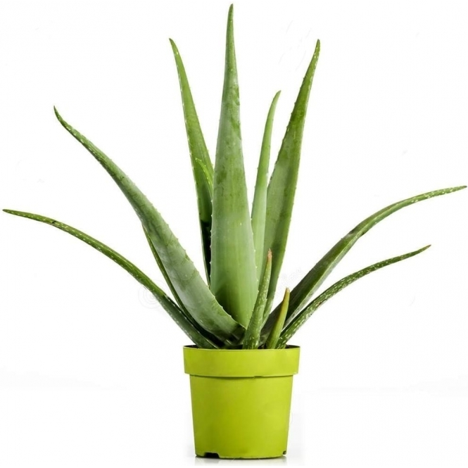 GardenersDream Aloe Vera Barbadensis Upright Evergreen Perennial