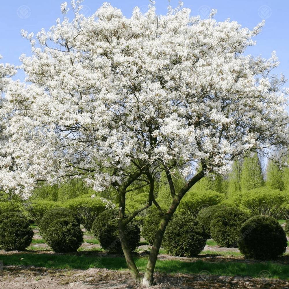 Amelanchier lamarckii Gardening deltanekretnine.ba