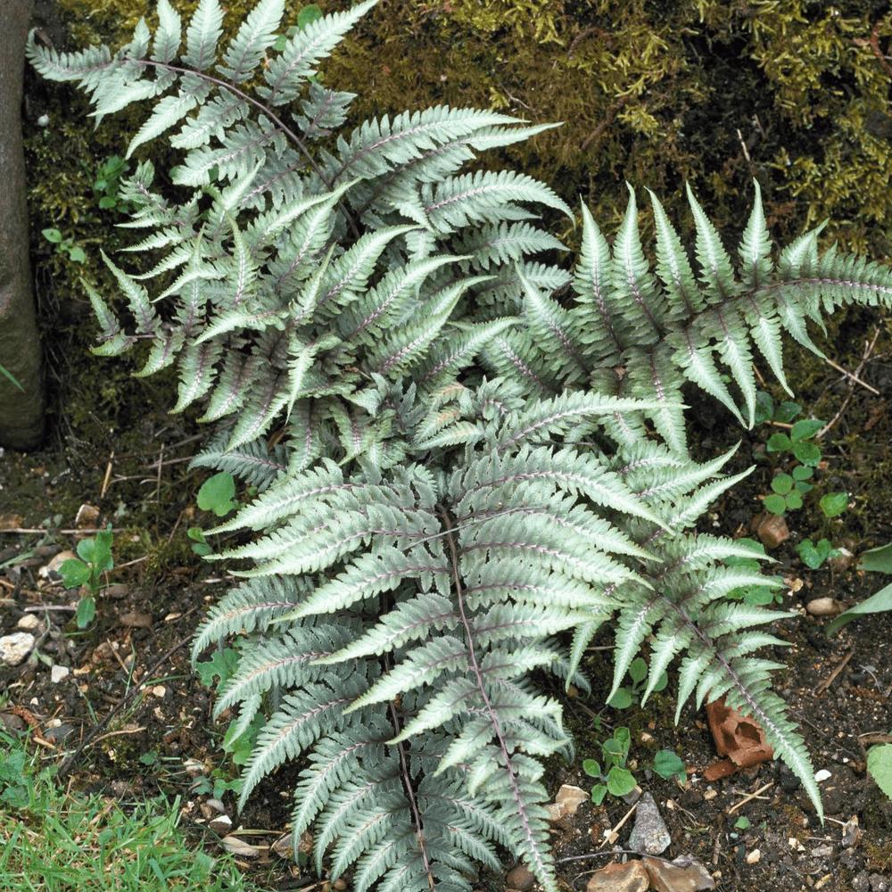 Athyrium niponicum Metallicum hardy garden fern 9cm pot FREE POSTAGE