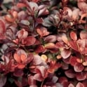 GardenersDream Berberis Thunbergii Atropurpurea 60-90cm(2-3Ft) Bare Root Red Leaf Plant Hedging