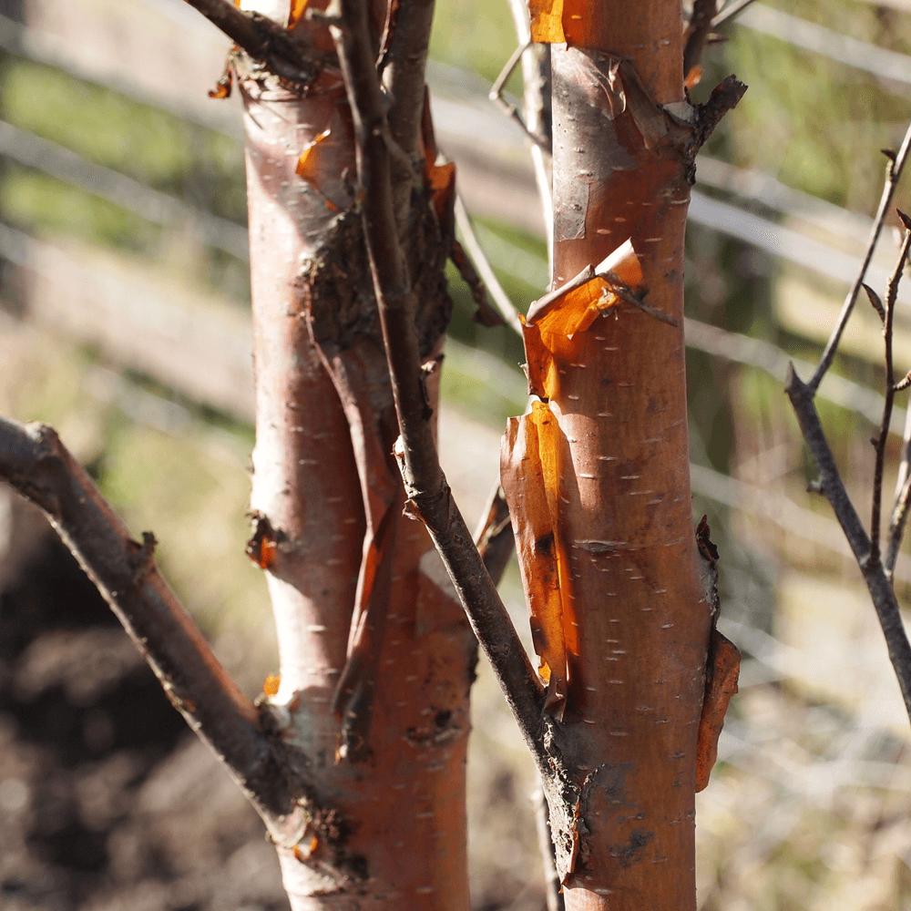 5-6ft Betula albosinensis Fascination Ornamental Tree White Barked Birch