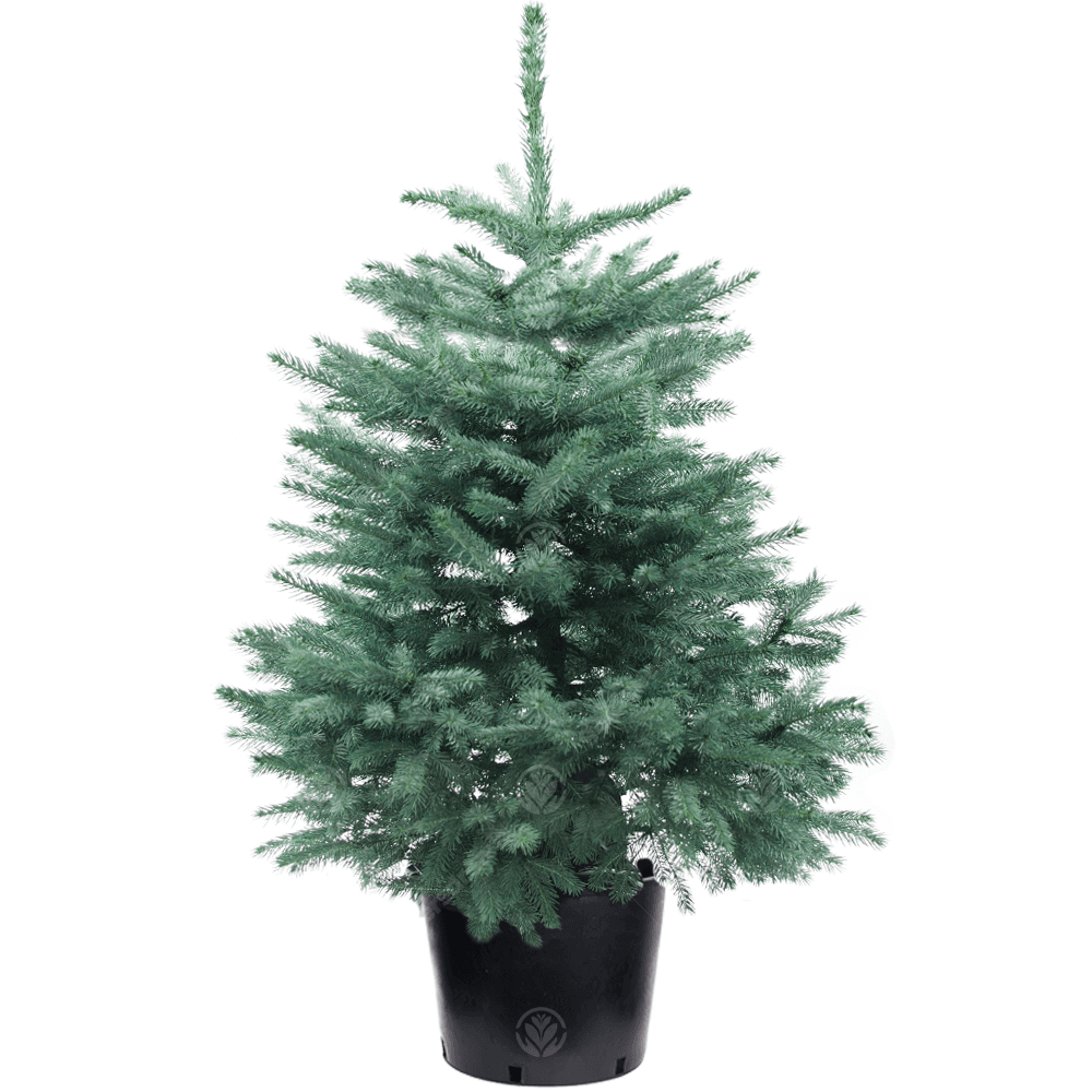 Christmas Tree Pot: Real Live Blue Spruce Pot Grown Christmas Tree