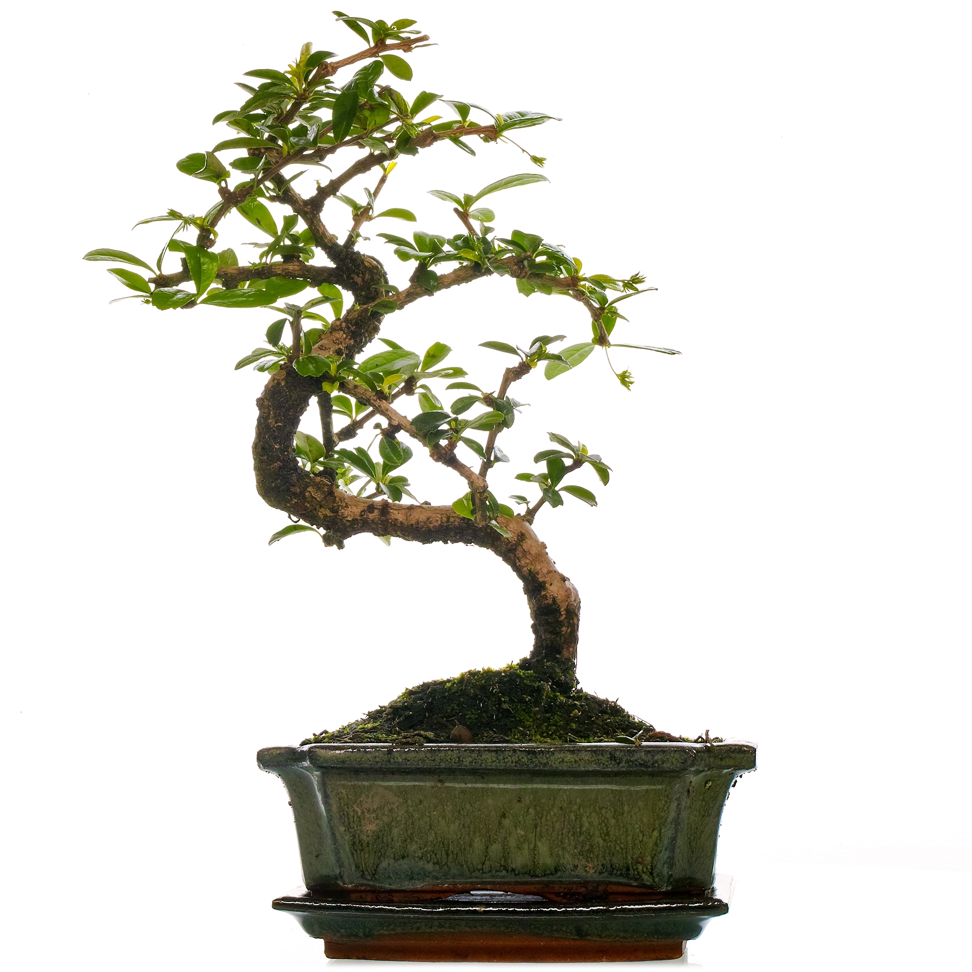 Bonsai Carmona Fukien Tea Hardy Indoor Plant Free Uk Delivery