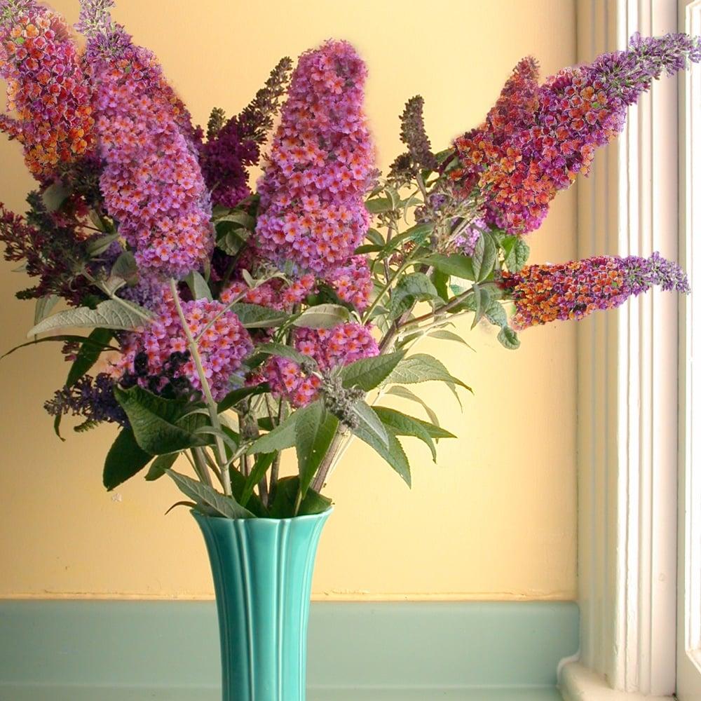 gardenersdream buddleia flower power butterfly bush. Black Bedroom Furniture Sets. Home Design Ideas