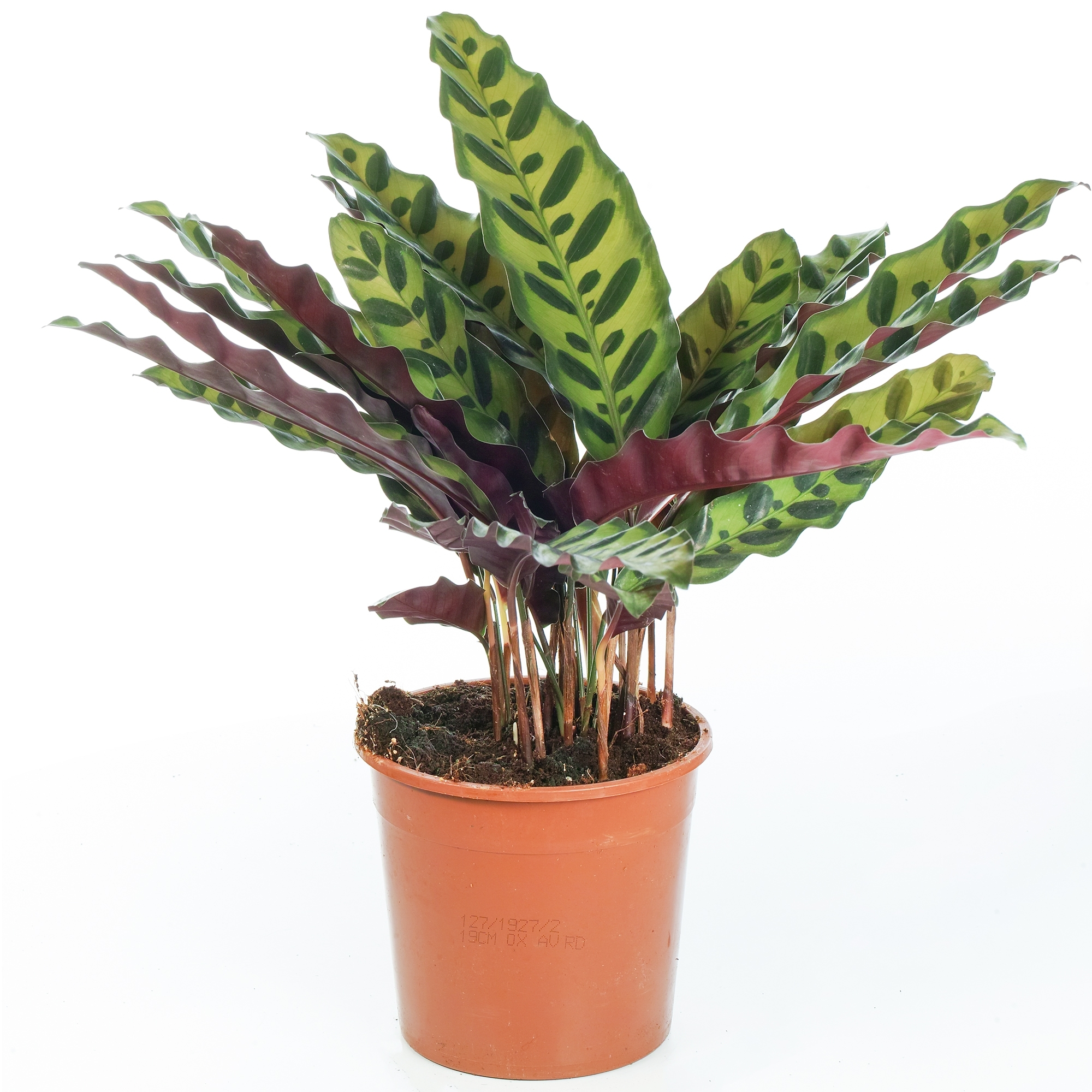 Calathea Rattlesnake Plant For Sale Houseplant Free Uk Delivery