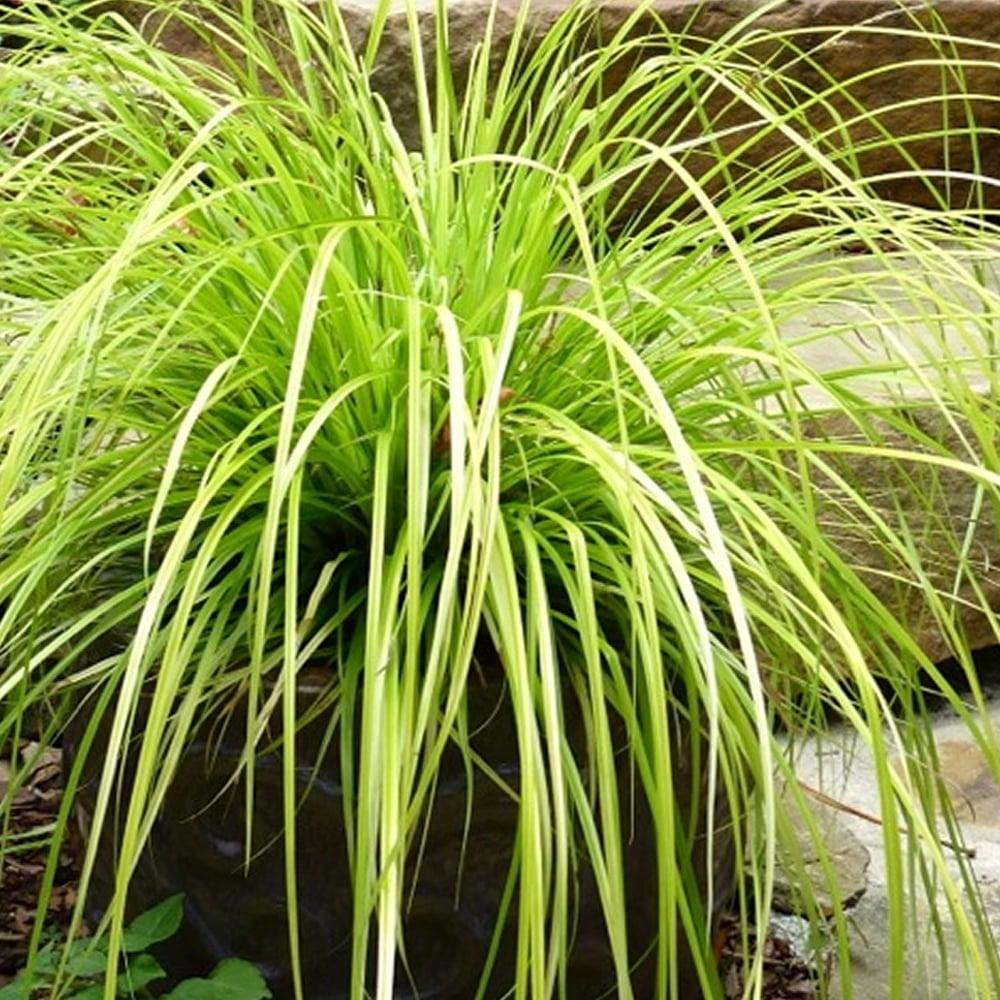 Picture of Live Japanese Sedge aka Carex oshimensis 'Everillo' Plant Fit 1 Gallon Pot