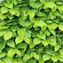 GardenersDream Carpinus Betulus 60-90cm (2-3Ft) Bare Root Hornbeam Mature Hedge Hedging Plants