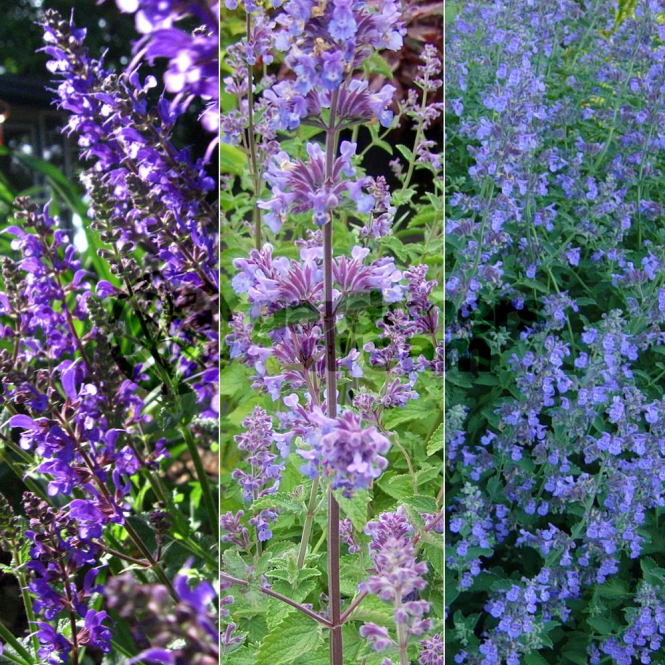 GardenersDream Catmint Collection - 3 Plant - Garden Kitchen Herb For Cooking