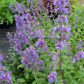 Catmint Six Hills Giant - 1 Plant - Garden Kitchen Herb For Cooking