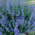 GardenersDream Catmint Walkers Low - 1 Plant - Garden Kitchen Herb For Cooking