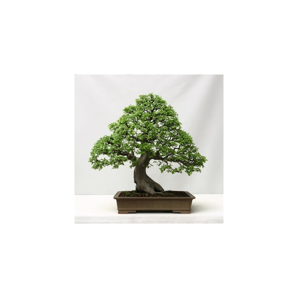 Chinese Elm Bonsai Tree Hardy Indoor Houseplant - Plants from ...