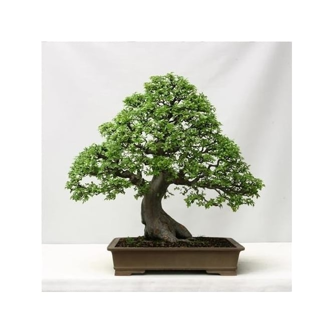 GardenersDream Chinese Elm Bonsai Tree Hardy Indoor Houseplant
