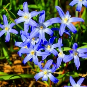 Chionodoxa Luciliae Forbesii Indoor Outdoor Daffodil Spring Flowering Bulb Plant