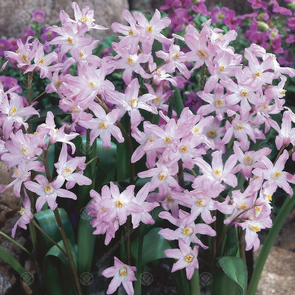 Chionodoxa Pink Giant Spring Flowering Bulbs Gardenersdream