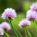 GardenersDream Chives Common - 1 Plant - Garden Kitchen Herb For Cooking
