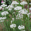 GardenersDream Chives Garlic - 1 Plant - Garden Kitchen Herb For Cooking