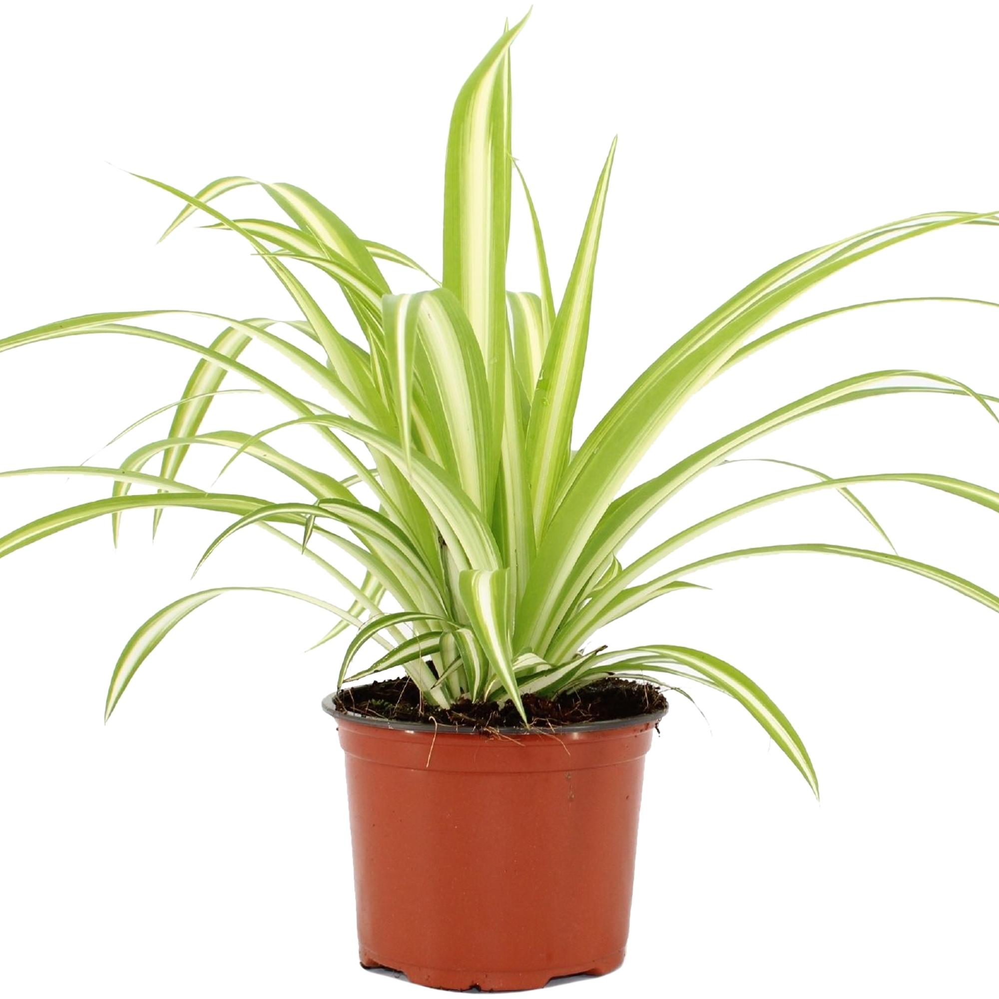 Chlorophytum Variegatum Spider Plant For Sale Free Uk Delivery