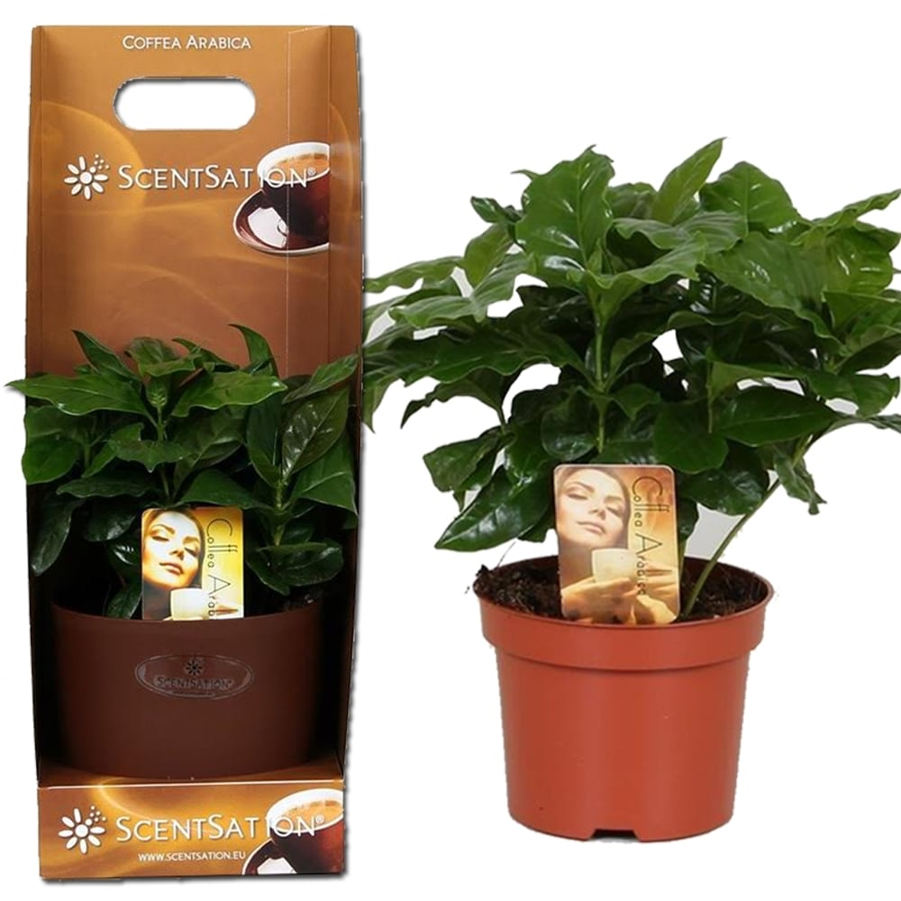 coffea arabica coffee in 12cm plant tall pot grow your own coffee gift box plants from. Black Bedroom Furniture Sets. Home Design Ideas
