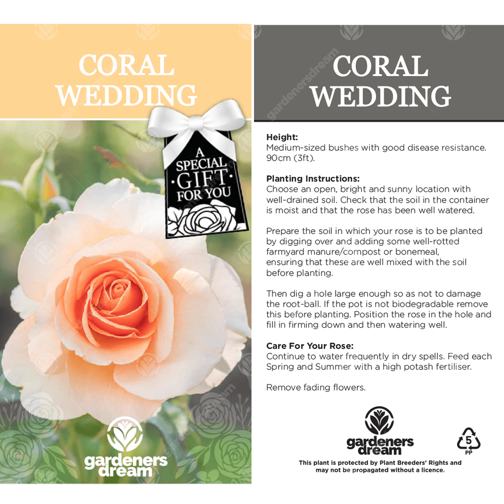 Coral Wedding Anniversary Peach Rose Bush Free Delivery