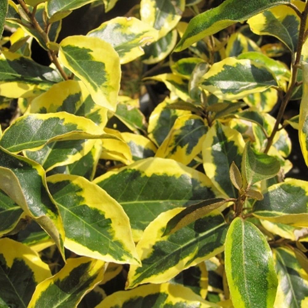 Silverberry Bush