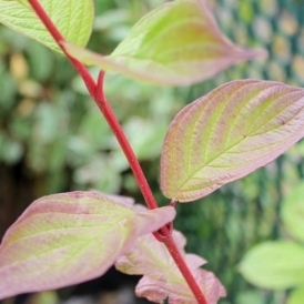 Cornus Alba 60-90cm (2-3Ft) Bare Root Tough Bark Dog Wood Hedge Hedging Plants