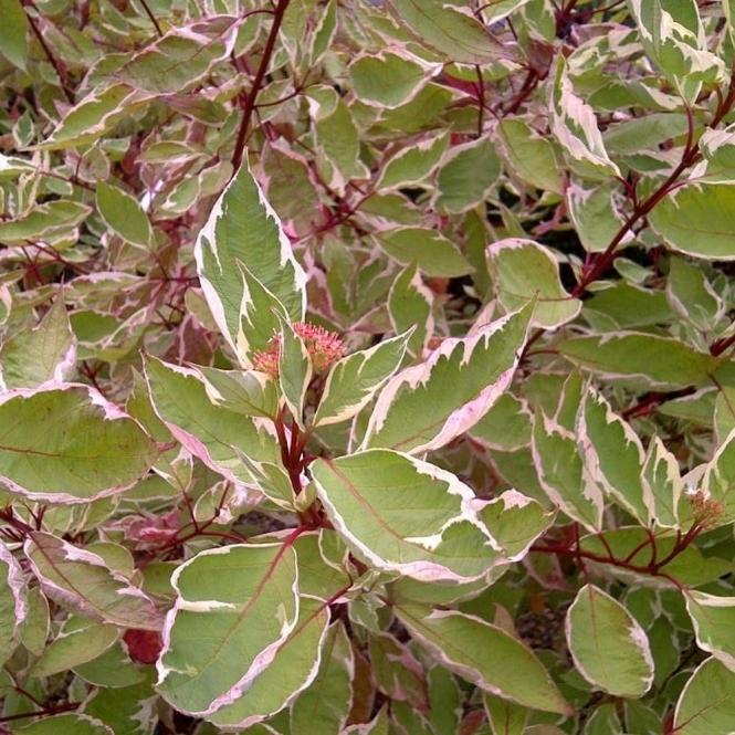 cornus alba elegantissima 60 90cm 2 3ft bare root variegated dog wood hedging plants from. Black Bedroom Furniture Sets. Home Design Ideas