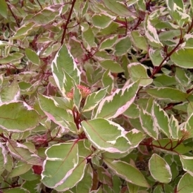 Cornus Alba Elegantissima 60-90cm (2-3Ft) Bare Root Variegated Dog Wood Hedging