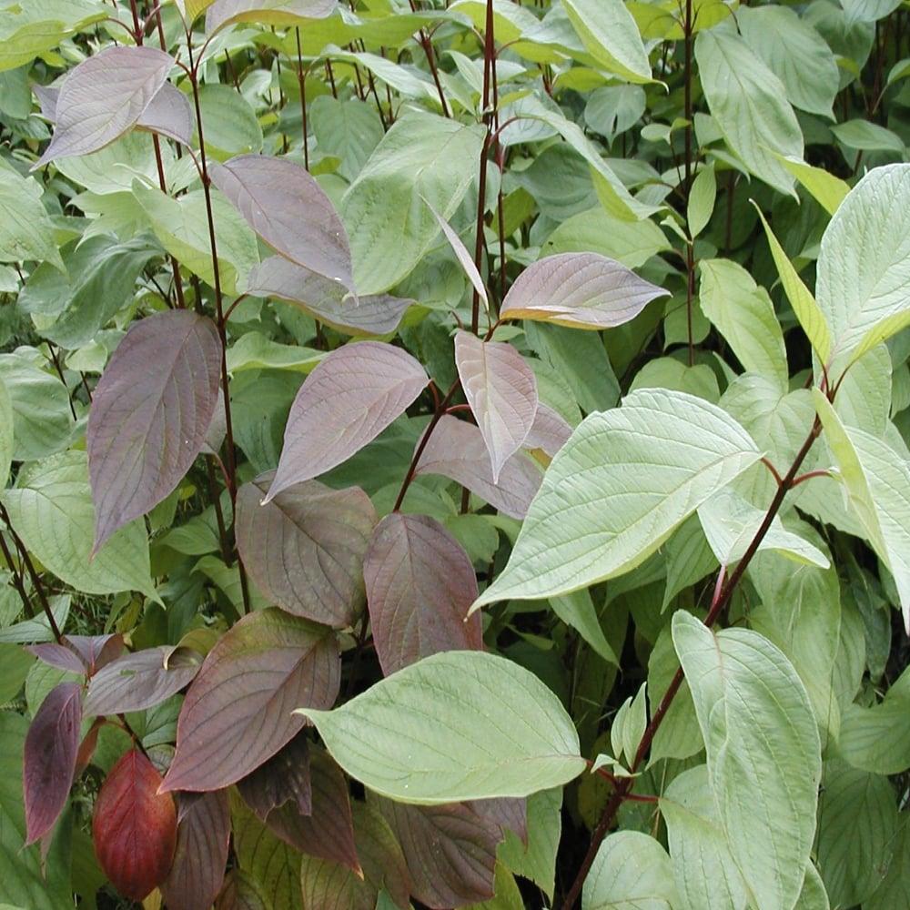 Gardenersdream cornus alba sibirica 60 90cm 2 3ft bare - Cornus alba sibirica ...