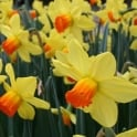 GardenersDream Daffodil Fortune Yellow Bed Border Healthy Spring Flowers Bulbs Plants