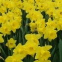 GardenersDream Daffodil Golden Trumpet Yellow Bed Border Healthy Spring Flowers Bulbs Plants