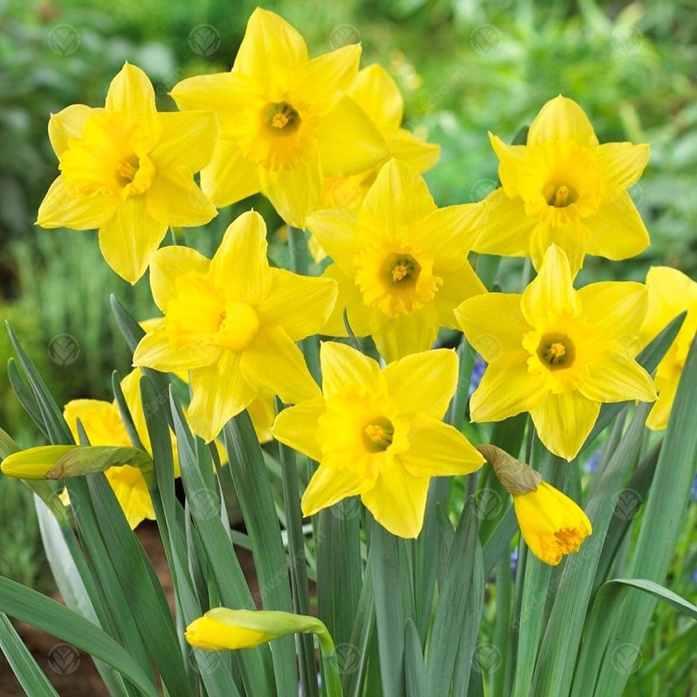 daffodil - photo #5