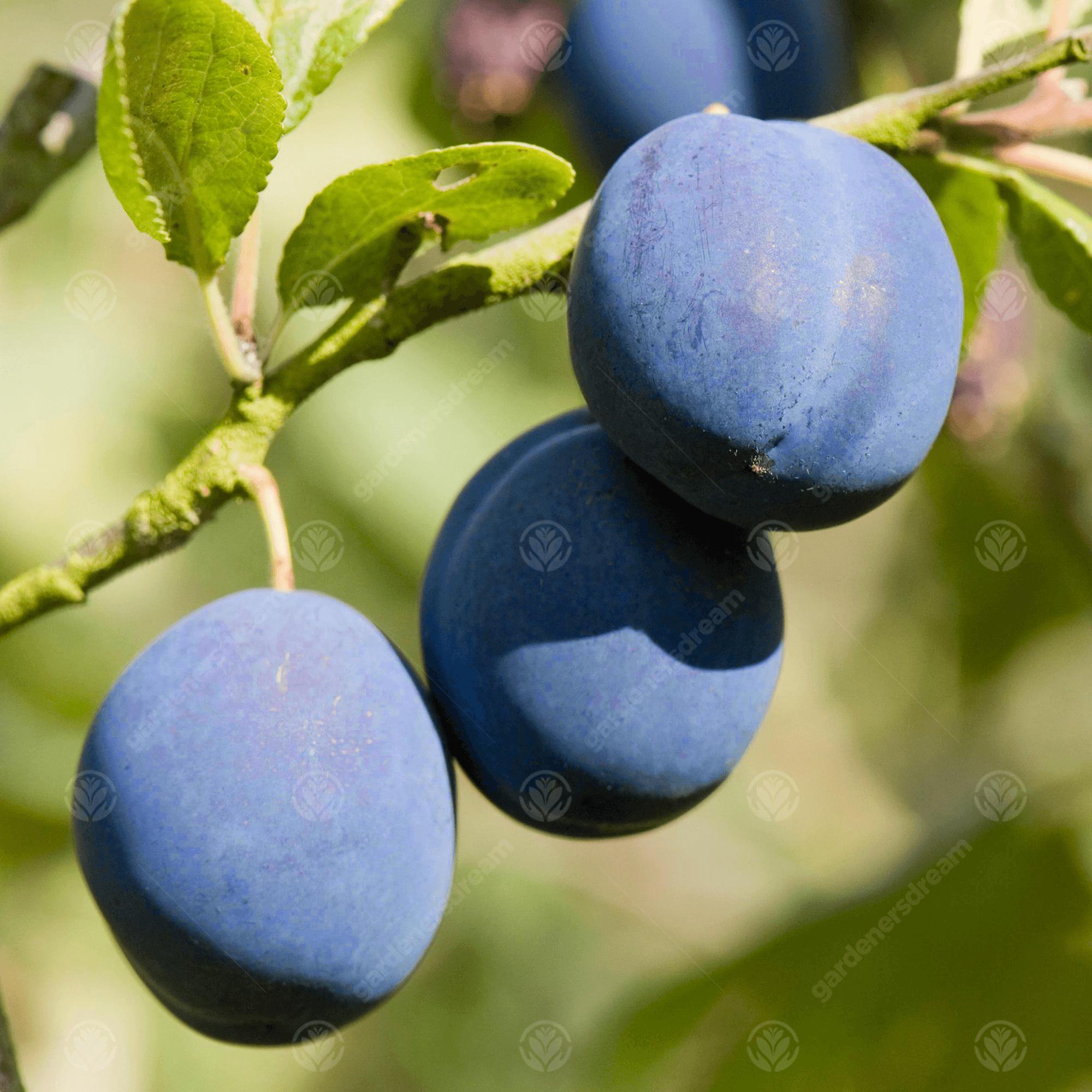Prunus Damson Merryweather Plum Fruit Tree 4-5ft Supplied Bare Rooted