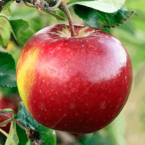 Malus domestica /'Katy/'Premium Eating Apple Tree Garden Fruit Tree4-5ft
