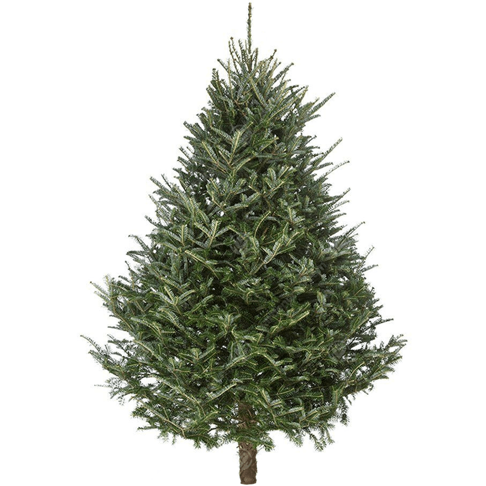 Fraser Fir Christmas Trees: Fraser Fir Real Christmas Tree Fresh Cut