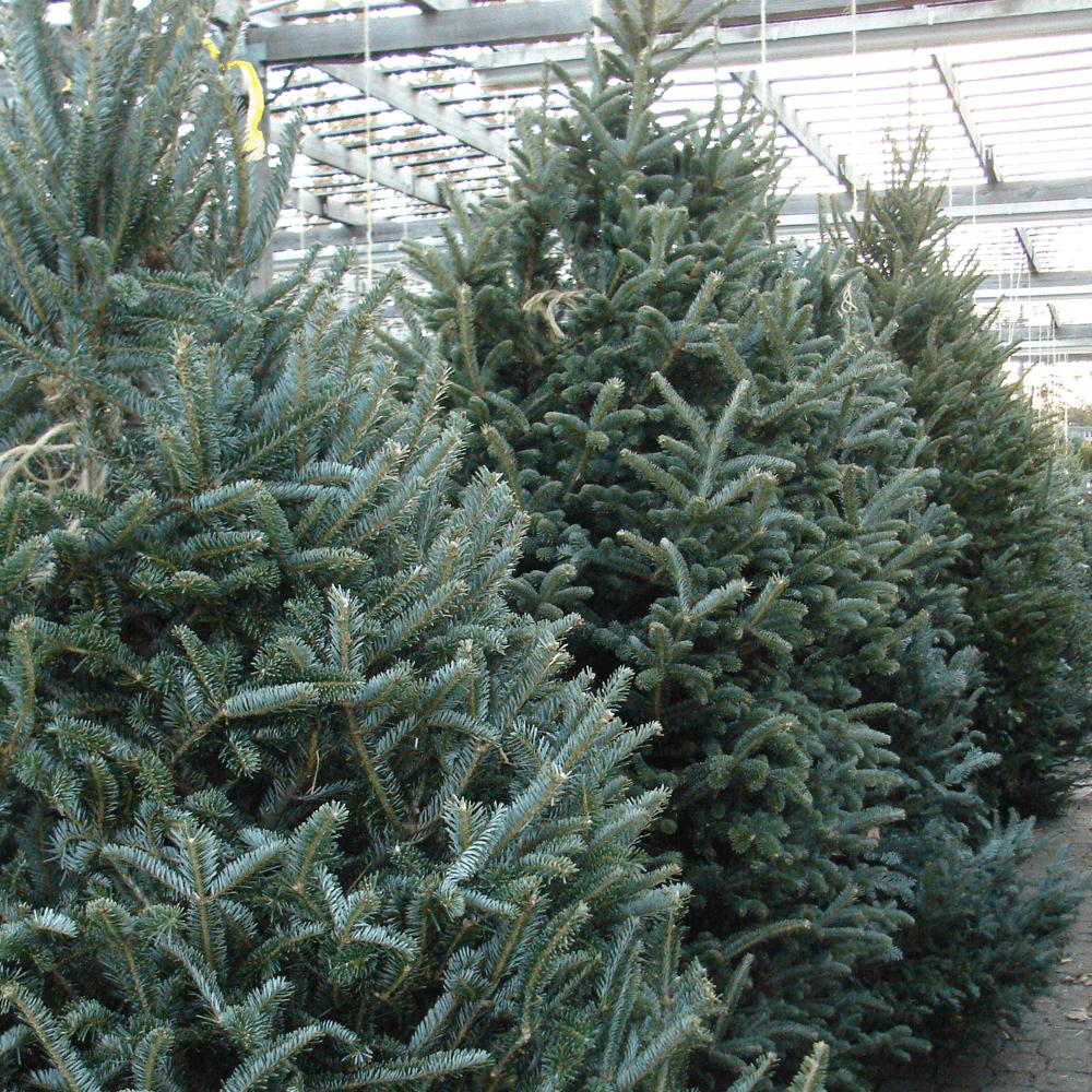 Fraser Fir Christmas Trees.Fraser Fir Pot Grown Christmas Trees