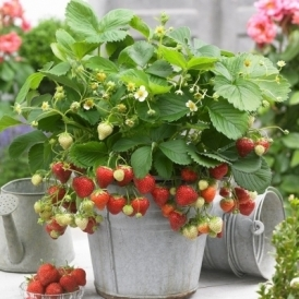 5 x Strawberry Sweetheart Bareroot Fruit Garden Plants Potting Grade