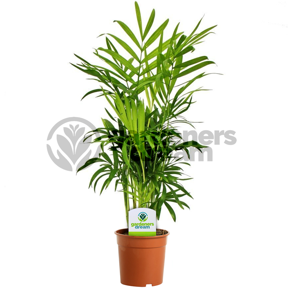 office tree. Indoor Plant Mix - 3 Plants House / Office Live Potted Pot Tree (