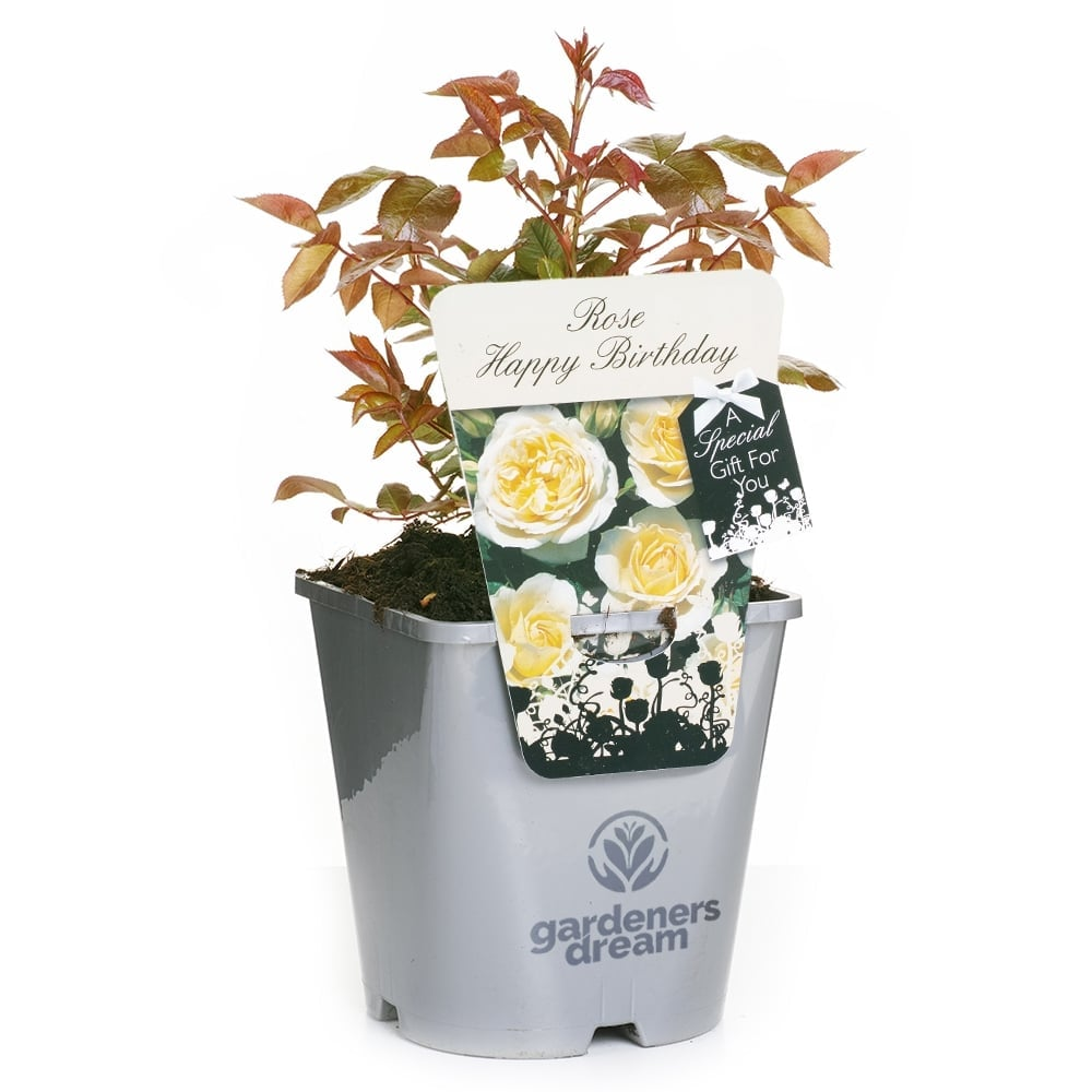 Gardenersdream Potted Rose Birthday Gift Message Happy Silver Pot