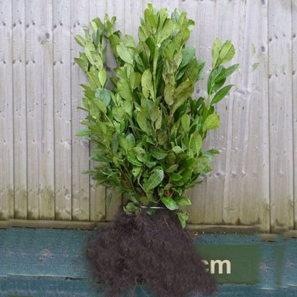 Sycamore Trading COMMON OR CHERRY LAUREL Prunus laurocerasus 10