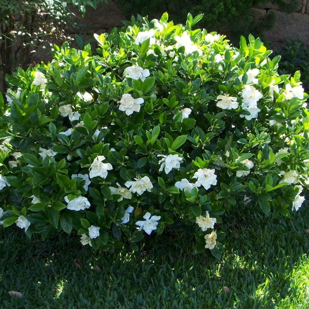 Gardenia jasminoides Kleims Hardy Plant in 9cm Pot