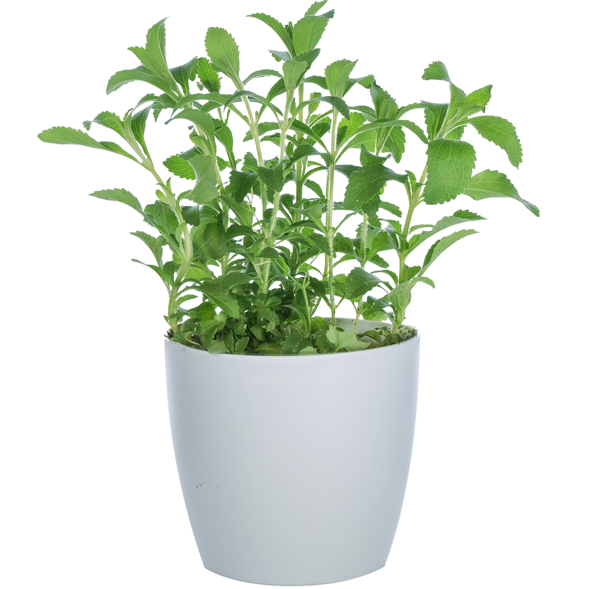 Stevia Live Plant 10 to 11 inches Tall 3½ inch Square Pot Sweet Herb